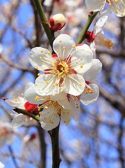 250px-Prunus_mume.jpeg